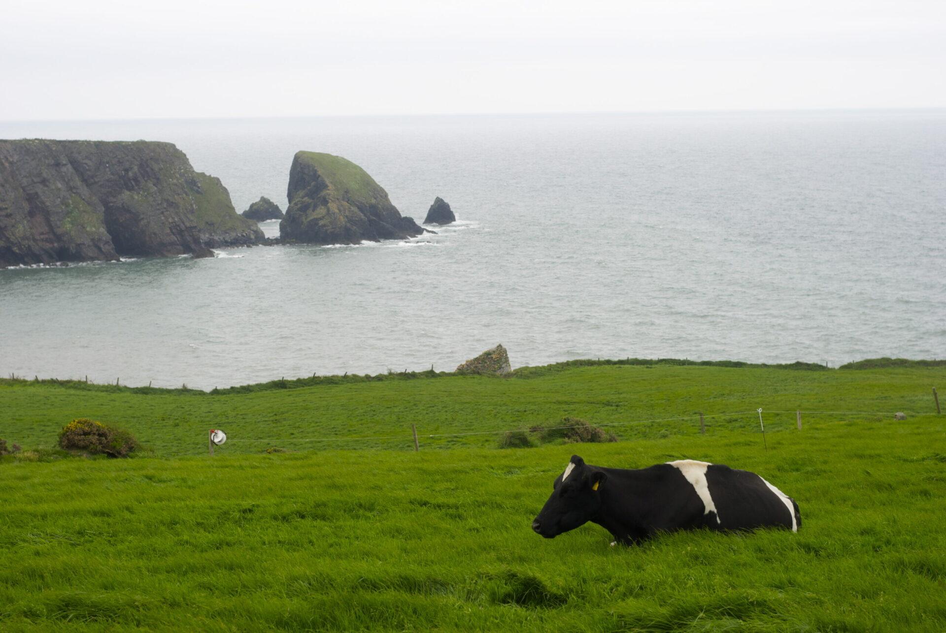 Vache allongée dans un champ surplombant une baie en Irlande.