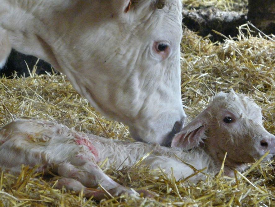 Le colostrum de vaches allaitantes est riche en immunoglobulines
