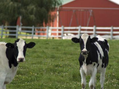 Les éleveurs laitiers américains en difficulté