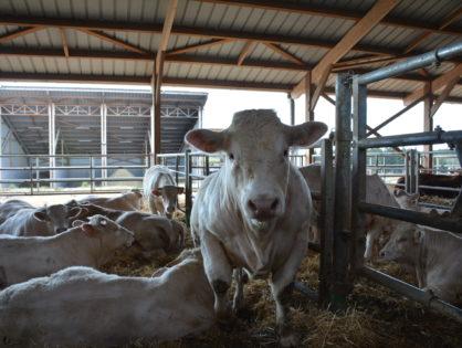 """La ferme aux """"4.000 bovins"""" est recalée"""