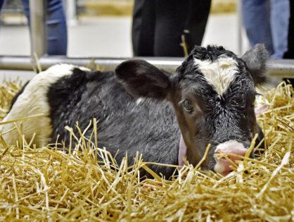 Le nursing du veau en 6 points clé
