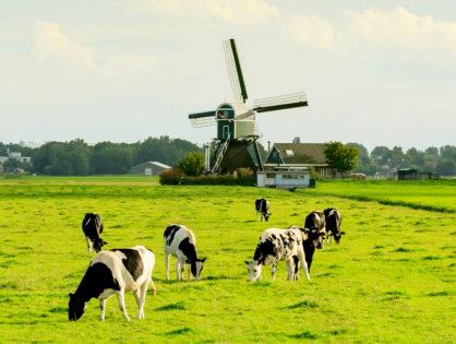 Focus sur l'élevage laitier néerlandais