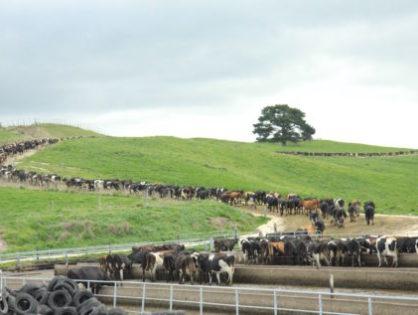 32 millions de litres de lait produits à l'herbe
