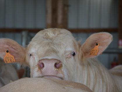 La viande bovine sur la pente descendante