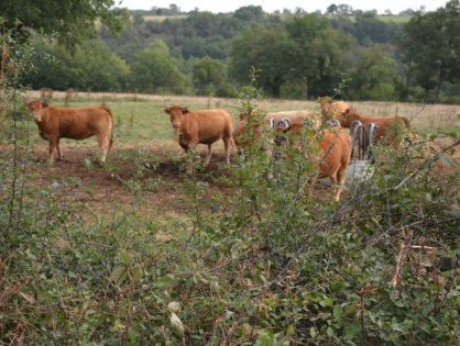 Tuberculose bovine : la Conf' publie un guide