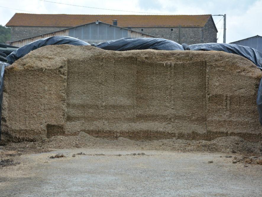 Le maïs ensilage veut échapper aux mycotoxines