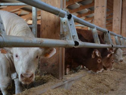 La production de viande bovine repart en arrière