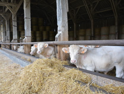 Le bœuf fragilisé par la demande