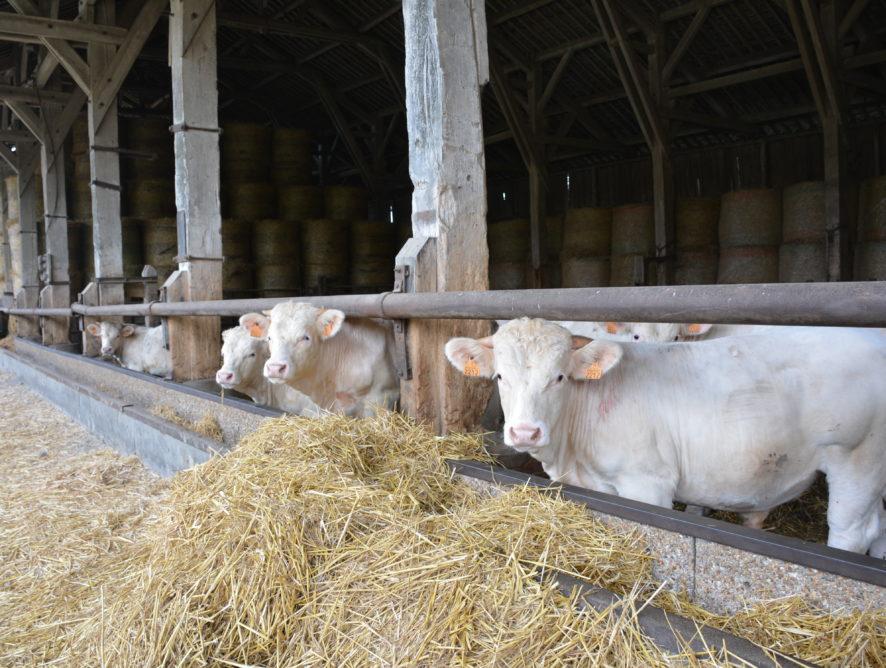 La viande bovine repart à la baisse