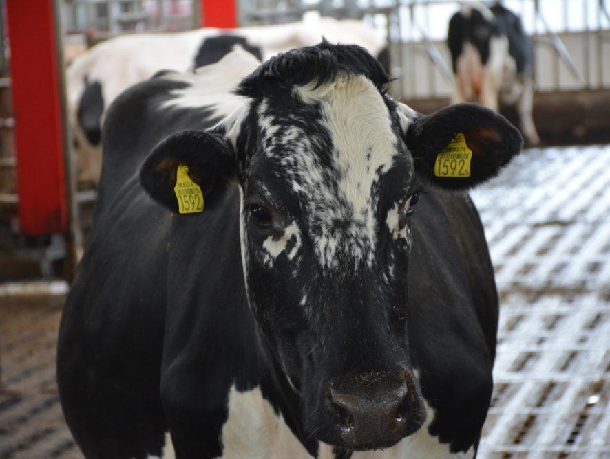 Plus de lait en Europe en 2019