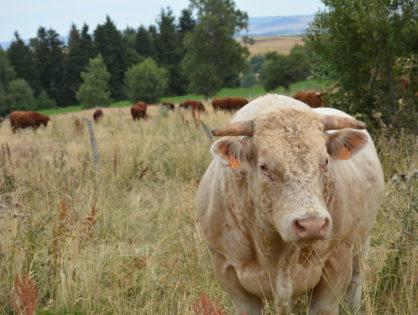 Les troupeaux allaitants plafonnent