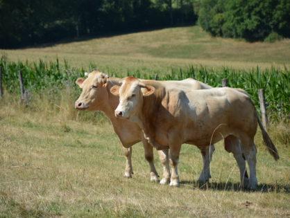 La viande bovine dans l'entonnoir