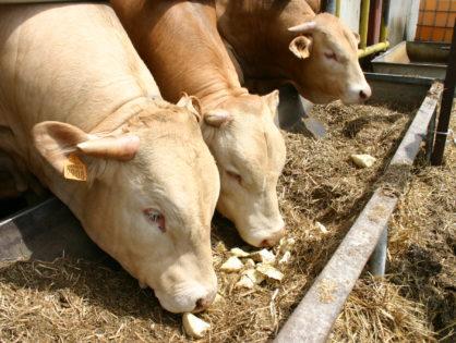 Viande bovine : un projet d'AOP