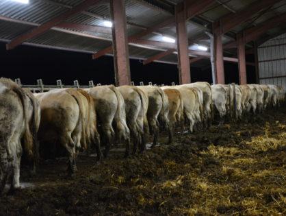 Le prix des vaches va-t-il remonter ?