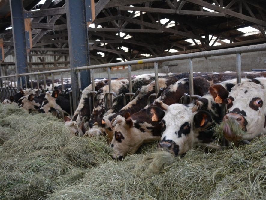 Camembert : les éleveurs sont déçus