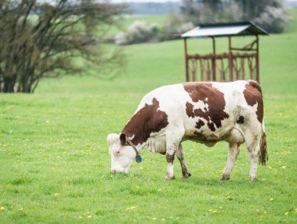 Le lait et la viande dans le rapport Papin